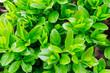 Leinwandbild Motiv Japanese boxwood bush - Buxus microphylla