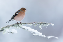 Chaffinch Perched On A Snow Covered Branch With A While Mottled Background.