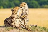 Fototapeta Sawanna - Cheetah mother and son kissing