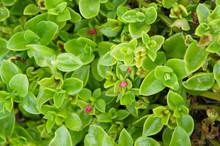Aptenia Cordifolia Or Heartleaf Iceplant  Green Plant Background