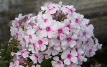Tall Garden Phlox Flame White ...