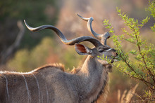 Mature Kudu Bull With Large Cu...