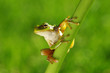 Green tree frog on grass