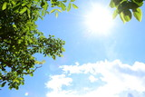 Fototapeta Forest - Grüne Walnussblätter - blauer Himmel - Wolken und Sonnenschein