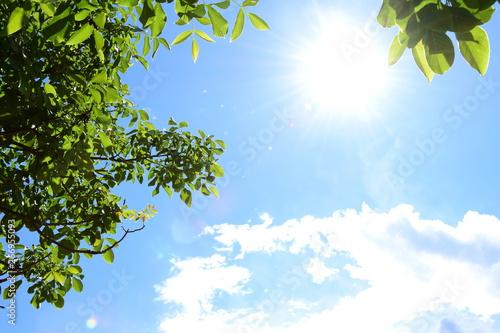 Grüne Walnussblätter - blauer Himmel - Wolken und Sonnenschein Fototapeta