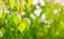 Light Green Leaves Birch  On Blurry Green Background. Copy Space_
