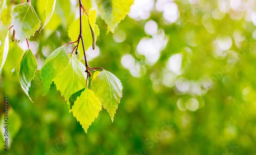 Fototapeta Light green leaves birch  on blurry green background. Copy space_ obraz