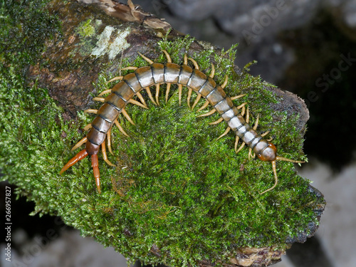 Fototapeta Scolopendra cingulata, also known as Megarian banded centipede and the Mediterra