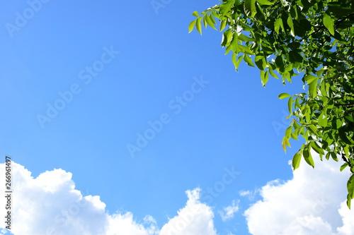 Walnussbaum Blätter vor blauen Himmel, weißen Wolken und