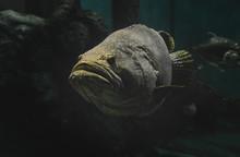 Giant Grouper Fish In The Aquarium.