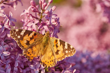 Butterfly Painted Lady. Vaness...