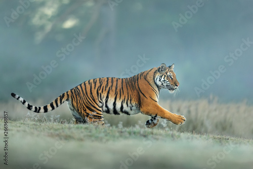 Amur tiger runing in natural habitat Canvas-taulu