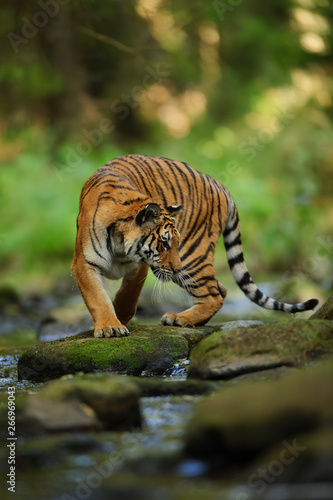 Siberian tiger on the stone close to river Canvas-taulu