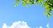 Leinwandbild Motiv Blätter des Walnussbaumes im Sonnenlicht vor blauen Himmel und weißen Wolken
