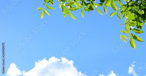 Fotografia  Blätter des Walnussbaumes im Sonnenlicht vor blauen Himmel und weißen Wolken
