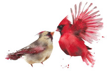 Bird Couple Northern Cardinal ...