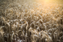 A Close-up Of A Field Of Golden Wheat.