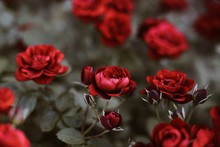 Close Up Of Red Roses In Garden