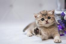 Kitten Scottish British Cat Burma Munchkin Animals