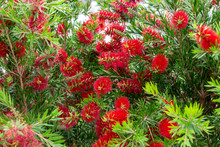 Bottlebrush Plant (Callistemon...