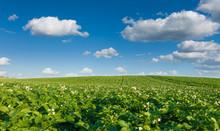 Landskape, Beautiful Potato Field And Sky. Green Field Blooming Potato At Beautiful Day.