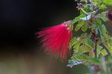Closeup Of A Vivid, Red Bottlebrush Blossom In Arizona's Sonoran Desert.
