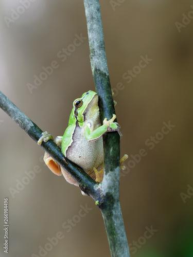 European tree frog, Hyla arborea Canvas Print
