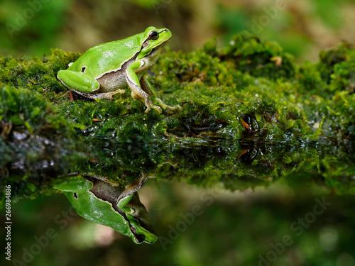 Photo European tree frog, Hyla arborea
