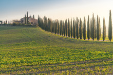 Landscape Of Grove Of Green Tall Trees In Remote Empty Field, Italy