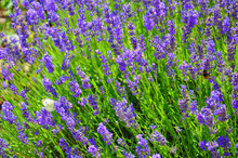 Beautiful Blooming Mealy Sage, Salvia Farinacea, Taken Close Up. The Amazing Purple Healing Herb Attracts Butterflies And Bumblebees