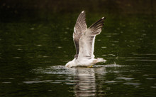 European Herring Gull Taking A Bath In A Canal