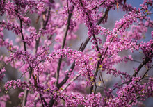 Cercis Siliquastrum Or Judas T...