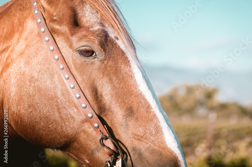 Close Up Horse Portrait