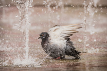 Pigeon Bathing In A Fountain On A City Shopping Square Sidewalk