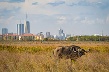 Buffalo In Nairobi National Pa...