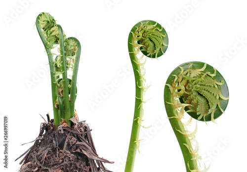 Fototapeta Matteuccia struthiopteris or Fiddlehead fern isolated on white background