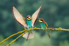 European Bee-eater (Merops Apiaster).