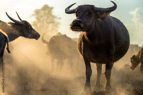 Photo sur Aluminium Buffalo Blurred wallpaper (buffalo flocks) that live together, many of which are walking for food, natural beauty, are animals that are used to farm for agriculture, rice farming.