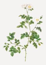 White Sweetbriar Rose