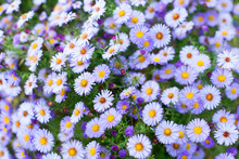 Many Little Purple Daisy Flowers Close Up, Violet Alpine Aster Wildflowers, Delicate Lilac Floral Background, Beautiful Chamomile Pattern, White Camomile Green Field On Sunny Day Backdrop, Copy Space
