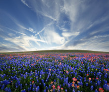 Field Of Flowers With Texas Bluebonnets And Indian Paintbrush