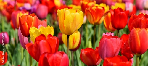 Foto auf Leinwand Rot Tulips. Beautiful flowers. Flower background.