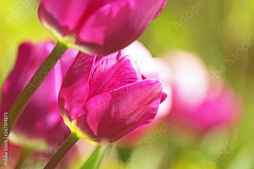 Spoed Fotobehang Roze Tulips. Beautiful flowers. Flower background.