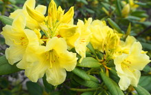 Showy And Bright Rhododendron Flowers Close Up. Evergreen Shrub.