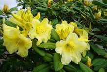 Showy And Bright Rhododendron ...
