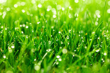 Green Grass With Water Drops C...
