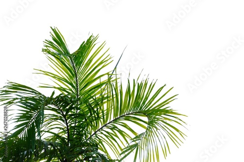 Leinwand Poster  Coconut leaves with branches on white isolated background for green foliage back