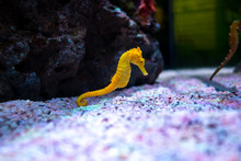 Sea Horse In Aquarium. These S...