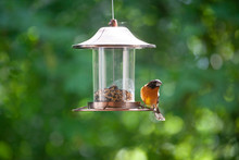 Black-headed Grosbeak Or Pheuc...