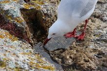 Seagull Drinking Water On A Rock